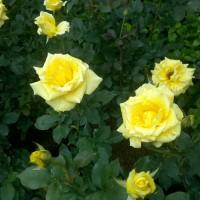 bunga tanaman mawar/rose big size jumbo. yellow
