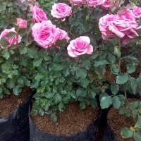 bunga tanaman mawar/rose jumbo size pink