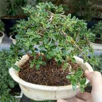 tanaman bonsai mirten mini