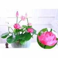Lotus seed benih bunga teratai biji teratai tanaman air aquascape