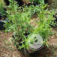 Bibit pohon delima putih / Tanaman buah delima putih / Buah hijau