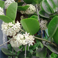 tanaman rambat bunga hoya putih