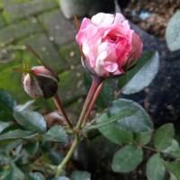 bibit bunga mawar import