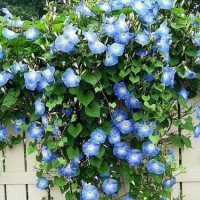 tanaman hias morning glori - rambat pagar - bunga morning glori