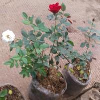 jual pohon bunga mawar