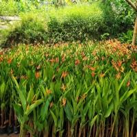 tanaman hias pisang heliconia / pisang pisangan