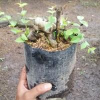 bahan bonsai kupalandak/anggur Brasil