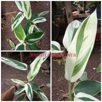 tanaman hias helikonia - pisangan - chalatea heliconia