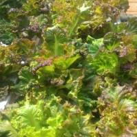 selada hidroponik varietas merah