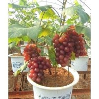 biji/benih/bibit/seed bonsai buah anggur merah red grape super unggul