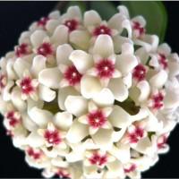 Anggrek Hoya Ball Orchid Rare Bonsai Benih Bibit Biji Tanaman