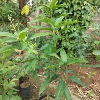 bibit buah mangga chokanan sudah berbunga