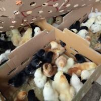 Jual Bibit DOC Ayam Kampung Super Joper Wilayah Kalimantan Kirim Cepat