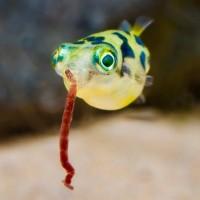 Ikan Hias Aquascape Mini Puffer Buntal Mini