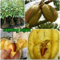 bibit buah durian musangking Musang King kaki 10