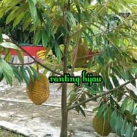 bibit buah durian musangking-musang king terlaris