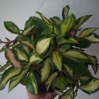 tanaman hoya carnosa
