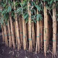 bambu kuning hias tinggi 250cm/tanaman pagar