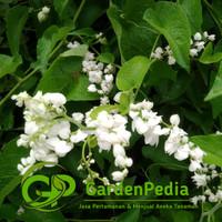 Bibit Pohon Air Mata Pengantin Bunga Putih - Tanaman Rambat