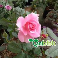 bibit bunga mawar pink - harum