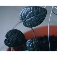 Bibit pohon sirih hitam/Tanaman daun sirih hitam langka