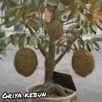 bibit tanaman durian montong dapat berbuah dalam pot/tabulampot