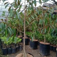 Bibit durian Montong kaki 3, tinggi 2 meter
