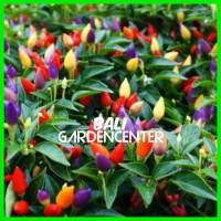Terpopuler Benih Bibit Biji Cabe Rainbow Pepper Chili Seeds Murah