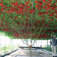 Kw Wahid! Bibit Biji Benih Tanaman Buah Tomat Pohon Italia 50 Butir
