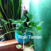 Sirih gading, Tanaman indoor pot air media tanam hidrogell