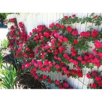 Bibit / Benih / Seeds Bunga Mawar Rambat Red Climbing Rose