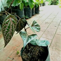 Bibit tanaman daun sirih merah (obat herbal)