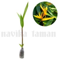 Pohon Pisang Heliconia Bunga Kuning - Tanaman Pisang Hias Heliconia