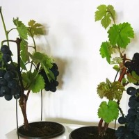 biji/benih/bibit/seed bonsai buah anggur hitam black grape for bonsai
