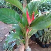 tanaman hias heliconia - pisang pisangan bali - heliconia mini