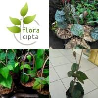 Paket 3 bibit tanaman daun sirih (obat herbal)