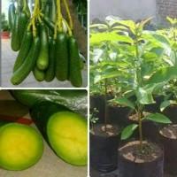 a+ cepat berbuah !! bibit tanaman buah alpukat tanpa biji jual!