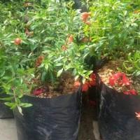 unggulan! bibit tanaman bahan bonsai buah delima mini berbunga kw
