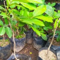 Bibit tanaman buah Rambutan Binjai nature ❤