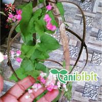 Paket 4 pcs Bibit Tanaman Pohon Bunga Air Mata Pengantin