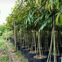 Estu! Bibit Buah Durian Montong Kaki 4 Tinggi 1 Meter Estu!