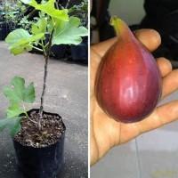 Terlaris! Khurtmani Fig Bibit Pohon Tin Red Palestine Buah Tin Bibit