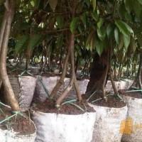 Ori! Bibit Tanaman Buah Durian Montong Kaki Tiga A+
