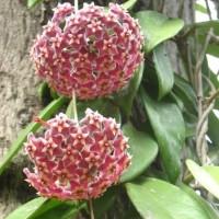 Tanaman Red Hoya