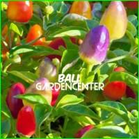 HOT SALE Benih Bibit Biji Cabe Rainbow Pepper Chili seeds