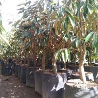 bibit tanaman buah DURIAN MONTONG batang besar tinggi 1,5m