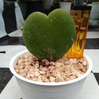 Tanaman Love Hoya