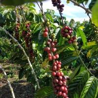 Kopi fine robusta gunung raya djangkat jambi