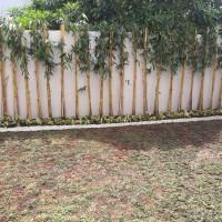 bambu kuning hias/bambu taman/tanaman pagar
