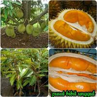 Bibit buah durian tembaga super unggul